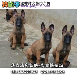 华众狗场直售比利时马犬 动作灵敏 兴奋度高 警觉性强