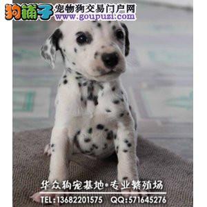 深圳哪里出售高品质大麦町幼犬 签署各项质保协议