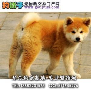 华众狗场直售顶尖秋田高品质幼犬 可以签合同保健康
