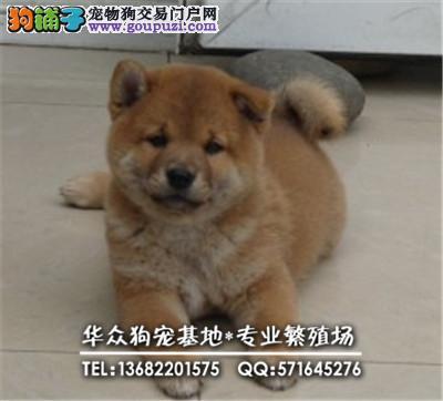 深圳哪里买柴犬 华众狗场出售柴犬 优质服务,终身售后