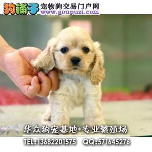 广州哪里买可卡 犬舍直销、让顾客买的优惠放心和纯种