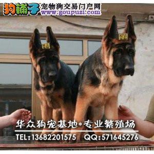 华众狗场出售赛级德牧 耳号 证书均有 国内一线品质