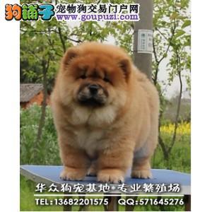 深圳哪里买松狮犬 来犬舍可看到狗的父母 质量第一