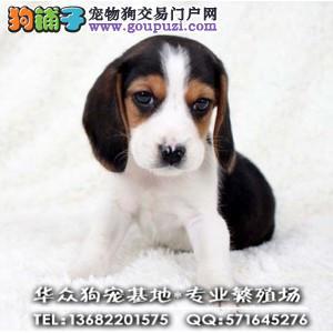 深圳哪里买比格犬好 高贵血统 高性价比 签合同质保