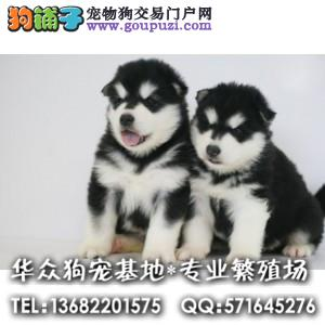 深圳哪里哪里买阿拉斯加 巨型阿拉斯加雪橇犬 品质保证