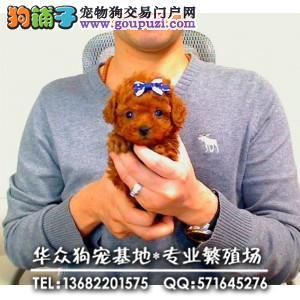 深圳哪里买泰迪熊 CKU认证血统 质量三包 完美售后