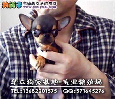 深圳哪里买吉娃娃最好 ,质保三年,专业繁殖,支持送货