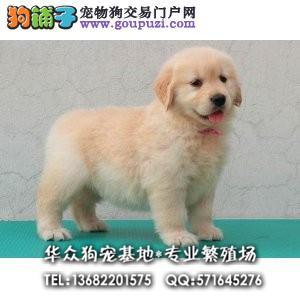 深圳哪里买金毛犬 高端冠军级赛级金毛领导者