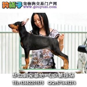 广州哪里买杜宾犬 德系杜宾 美系杜宾 最贴心售后