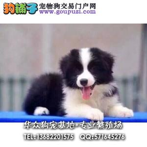 深圳哪里出售七百到位 通脖通缝 的赛级边牧 华众狗场
