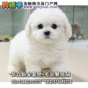 深圳哪里买比熊犬好 品相极佳 毛量足 签合同保健康