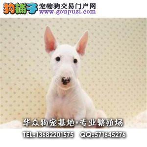 华众狗场专业繁殖牛头梗,CKU认证犬舍,签保终身