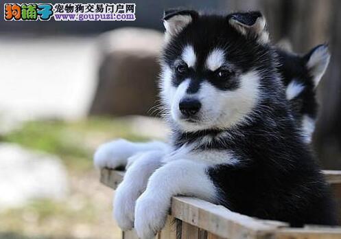 直销锤系哈尔滨阿拉斯加雪橇犬 可送狗上门货到付款