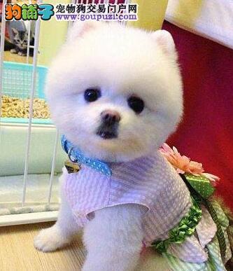 毛发浓密雪白的大连博美犬找新家 建议您上门选购爱犬
