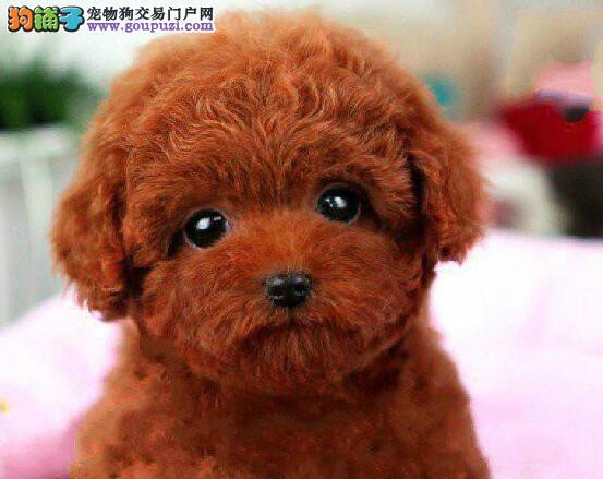 多种血系的大连泰迪犬找新的主人 求有爱心的人士收留