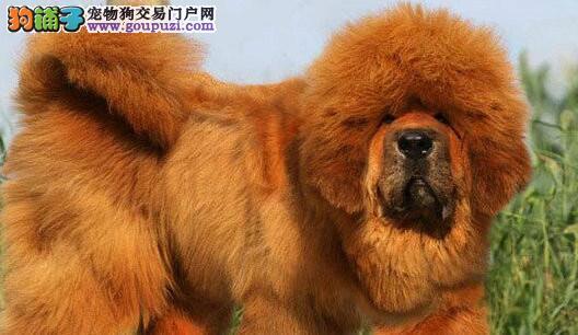 狗场出售铁包金藏獒狮头藏獒幼犬基地直销包纯种包健康