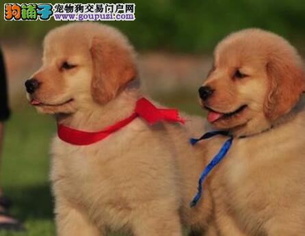 重庆繁殖基地出售多种颜色的金毛签订保障协议