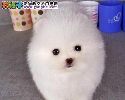 出售纯种健康的桂林博美犬 可以视频看狗 放心选购