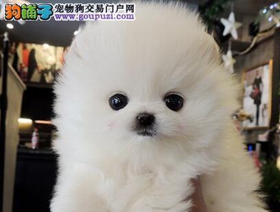 家养赛级博美犬宝宝品质纯正全国当天发货