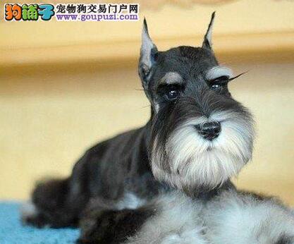 桂林养殖基地出售高品质小体雪纳瑞犬 签订售后合同