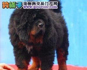 狗场直销大型犬藏獒 铁包金 纯种大骨骼大狮头长毛