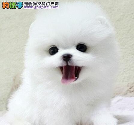 大型狗场直销哈多利版博美犬 欢迎来哈尔滨犬舍挑选