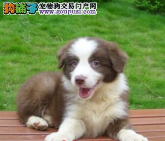 促销价转让武汉边境牧羊犬 可签订合同有健康保证
