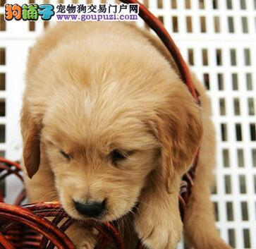 优秀纯种金毛犬促销出售 甘南州地区免费送狗有证书