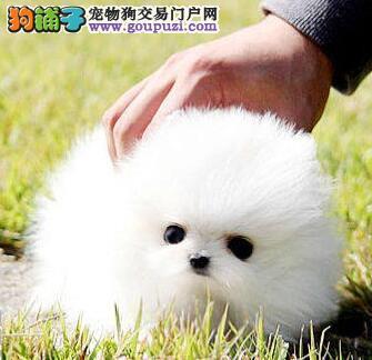 赛级品质宁波博美犬直销出售中 毛色佳品相好可预订