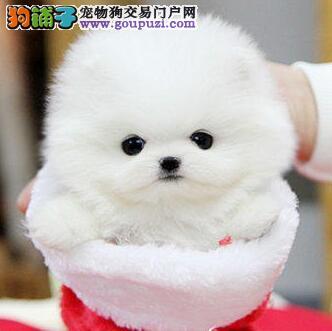 博美犬连云港最大的正规犬舍完美售后赠送全套宠物用品
