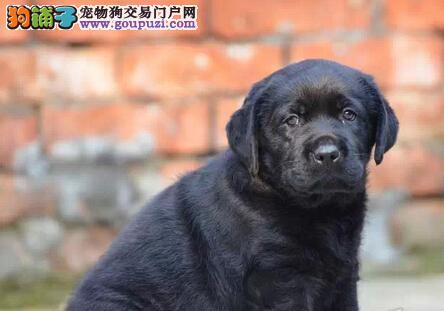 郑州本地出售高品质拉布拉多宝宝送用品送狗粮