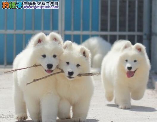 出售萨摩耶幼犬,金牌店铺假一赔十,签订终身合同
