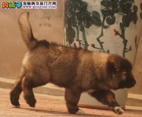 高品质俄系熊版西安高加索犬低价促销 支持空运发货