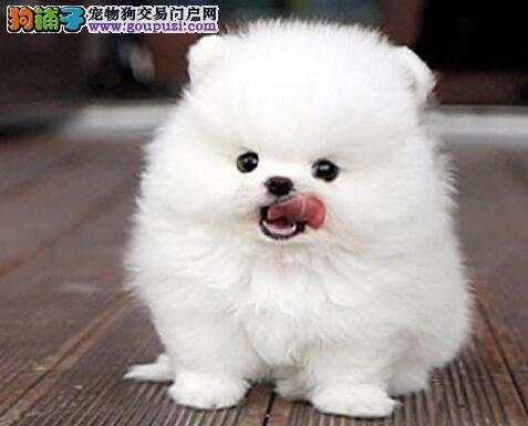 威海热销白富美最爱的可爱博美犬 你还在等什么呢