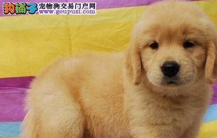 大骨架大毛量的广州金毛犬低价出售 保证品相好品质好