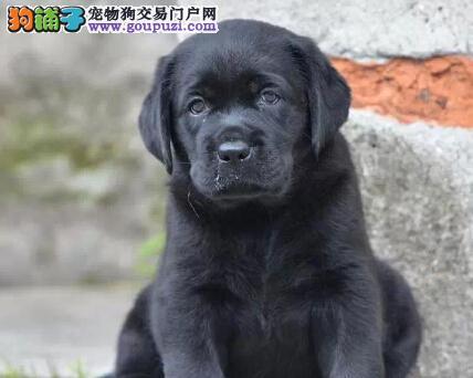 纯种拉布拉多幼犬,打完疫苗证书齐全,可送货上门