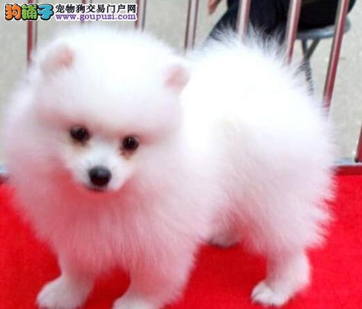 专业犬舍转让好品质博美犬九江地区上门购买可送用品
