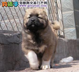 CKU国家权威认证威海基地出售俄系大骨架高加索幼犬