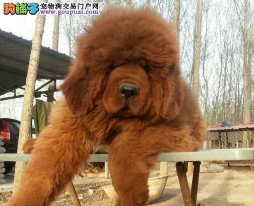 出售精品大狮头 大吊嘴 大骨量的极品藏獒幼犬
