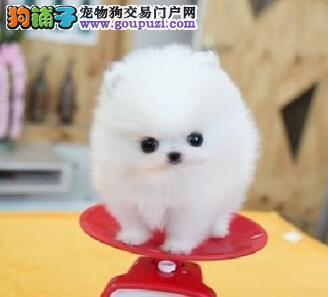 广州狗场售哈多利球型博美犬 可签定售后保证协议书