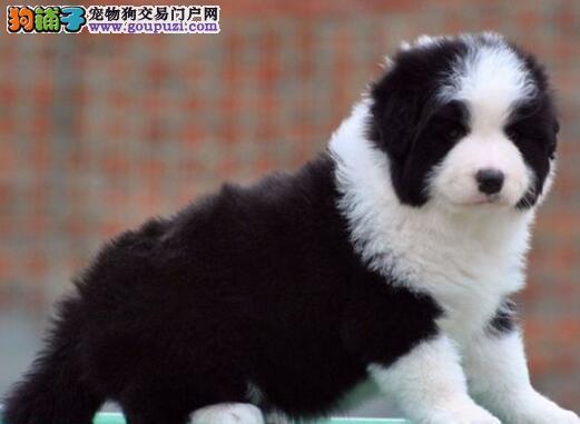 广州正规犬舍出售七白高品质边境牧羊犬 活泼可爱