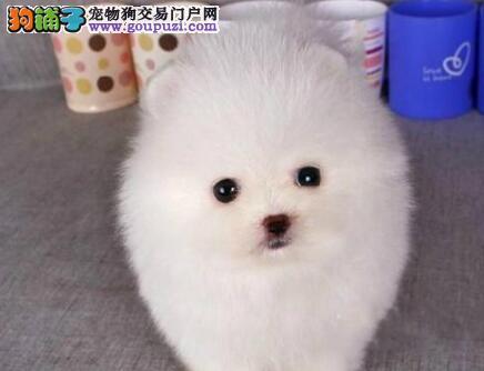 杭州知名犬舍繁殖出售双血统的博美犬幼犬狗贩子勿扰
