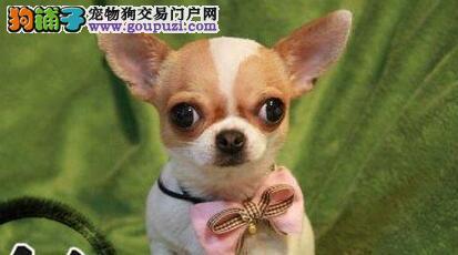 最正宗的广州吉娃娃幼犬低价出售 可亲自到家选择
