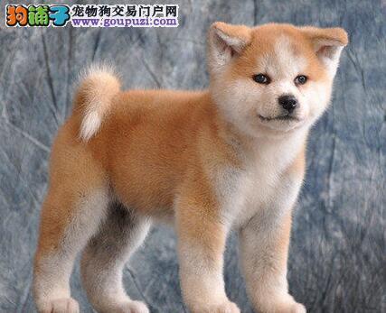 广州养殖场直销精品秋田犬 购买让您没有后顾之忧