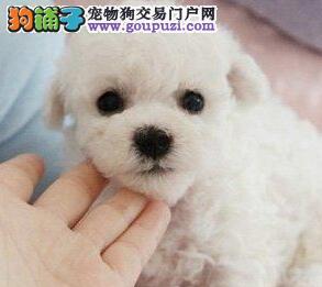 CKU犬舍认证新余出售纯种比熊微信看狗真实照片包纯