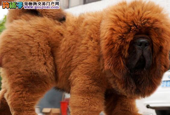 赛级品相渭南藏獒幼犬低价出售优质服务终身售后