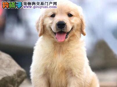 A级品质 超级冠军血统 肥嘟嘟金毛幼犬正在热销