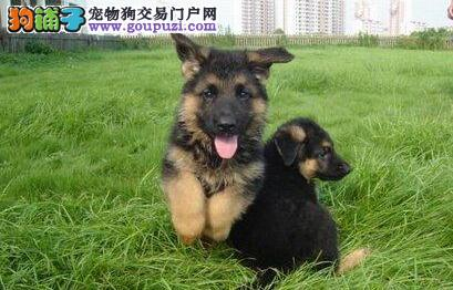 专业的德国牧羊犬犬舍终身保健康质量三包多窝可选