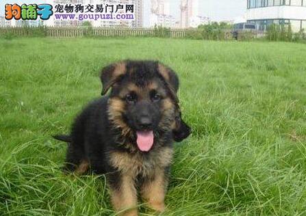 出售纯种带CKU血统的德国牧羊犬宝宝