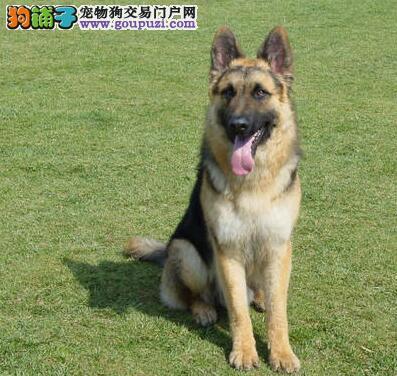 优质锤系德国牧羊犬天津出售 大头黑脸方嘴 品相极佳